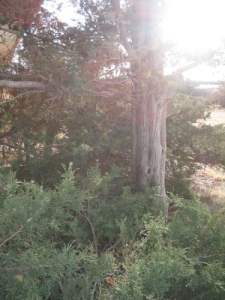 Tree at Solstice Evening